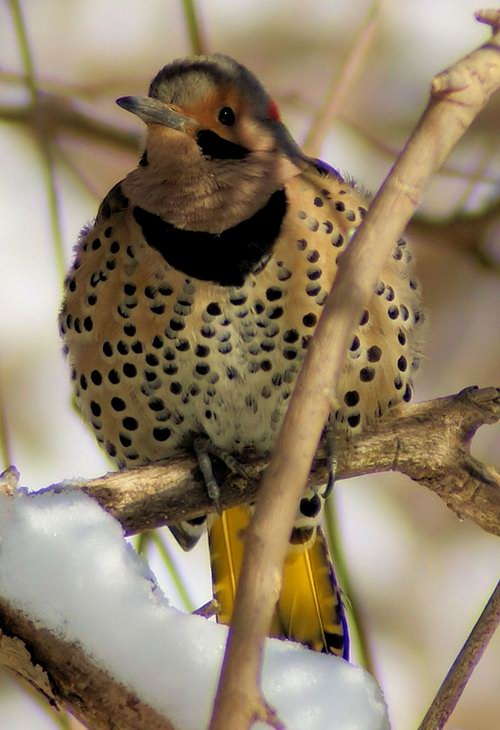 Northern Flicker, male.