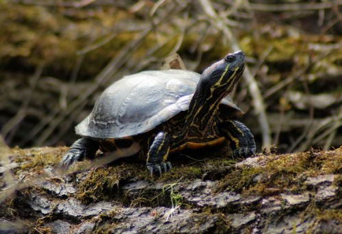 Red-eared Slider in March.