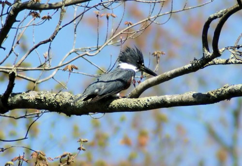 Belted Kingfisher at Carmans River.