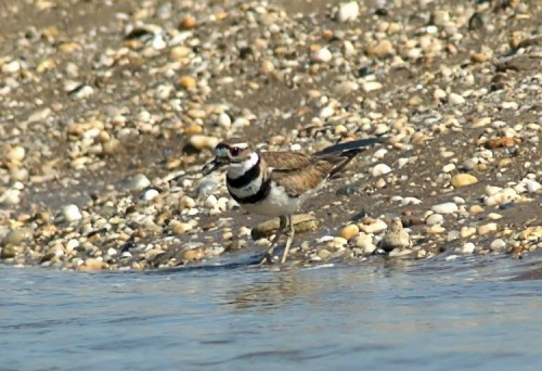 Killdeer at Sunken Meadow Park