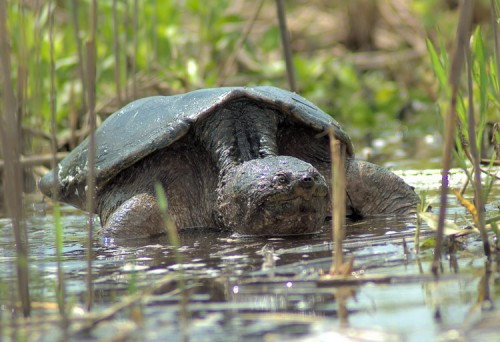 Snappping Turtle