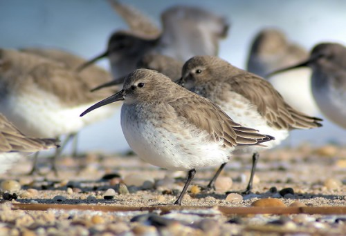 A flock of Dunlin brave the wind at Cedar Beach.