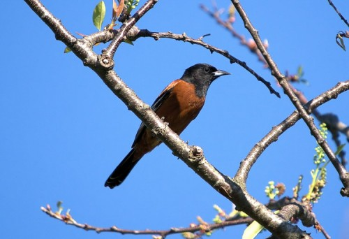 An Orchard Oriole at Avalon Preserve.