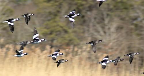 A flock of Buffleheads.