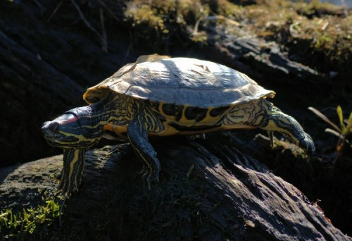 Sleeping Red-eared Slider.