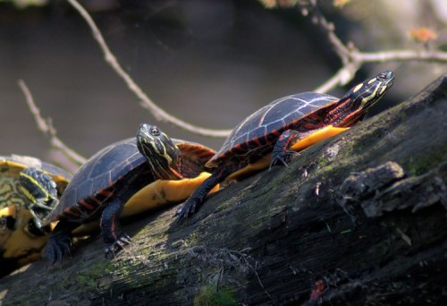 Two Painted Turtles sunning themselves on Carmans River.