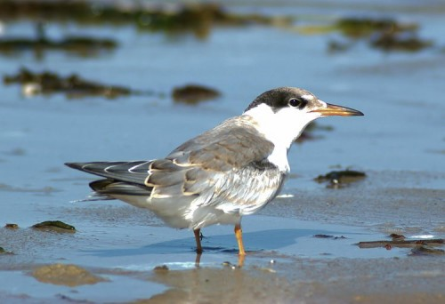 Juvenile Common Tern
