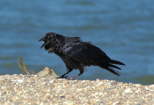 Fish Crow at West Meadow Beach