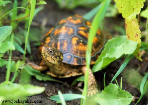 Young Box Turtle at Sweetbriar Nature Center.